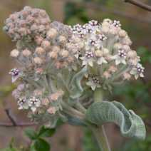 Asclepias californica
