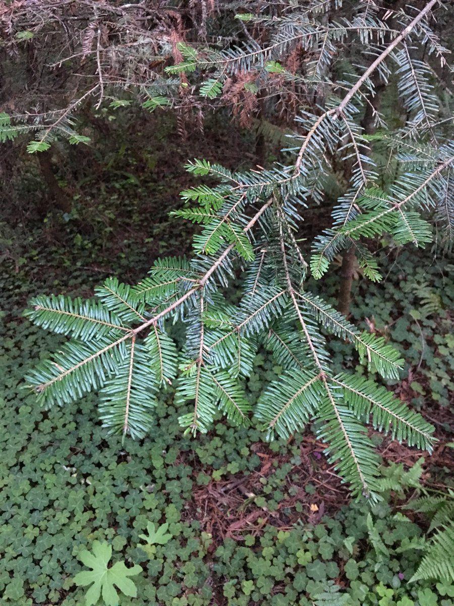 Abies Grandis Calflora