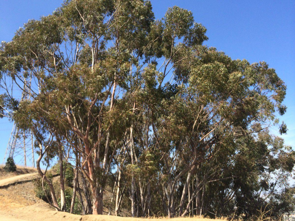 Eucalyptus Camaldulensis Calflora