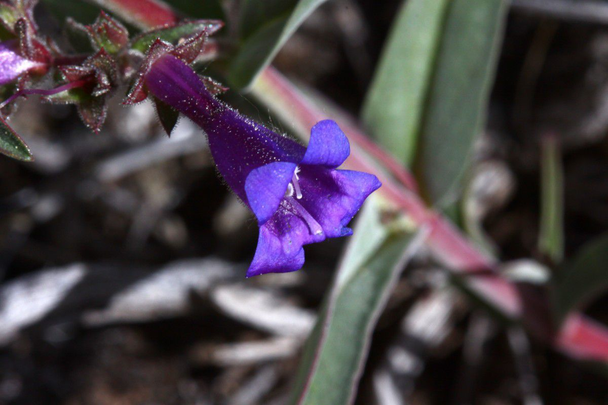 Penstemon roezlii