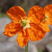 Papaver californicum