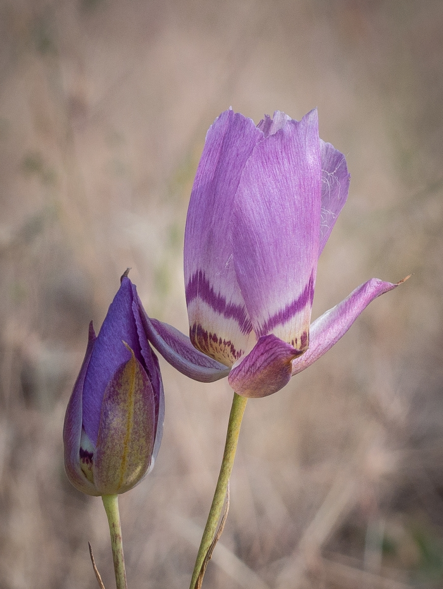 Calochortus greenei