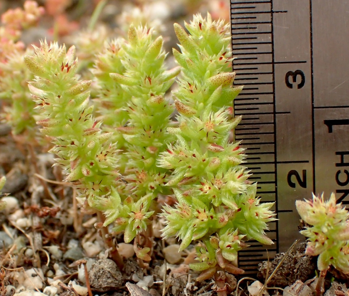 Crassula colligata