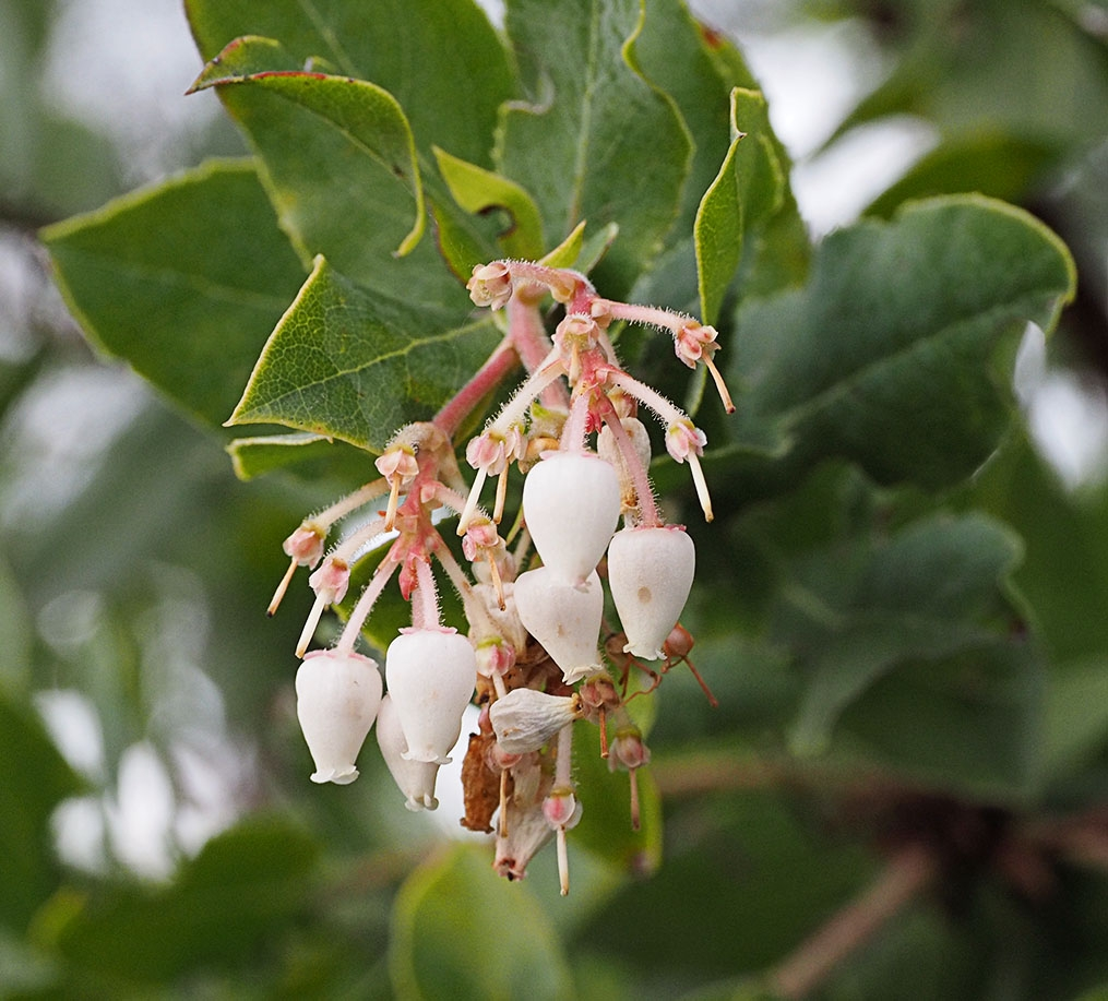 Arctostaphylos andersonii
