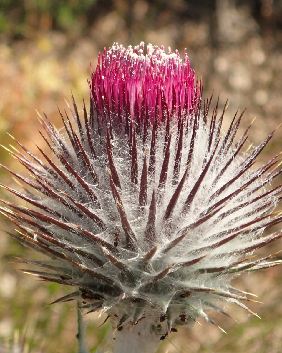 Cirsium occidentale