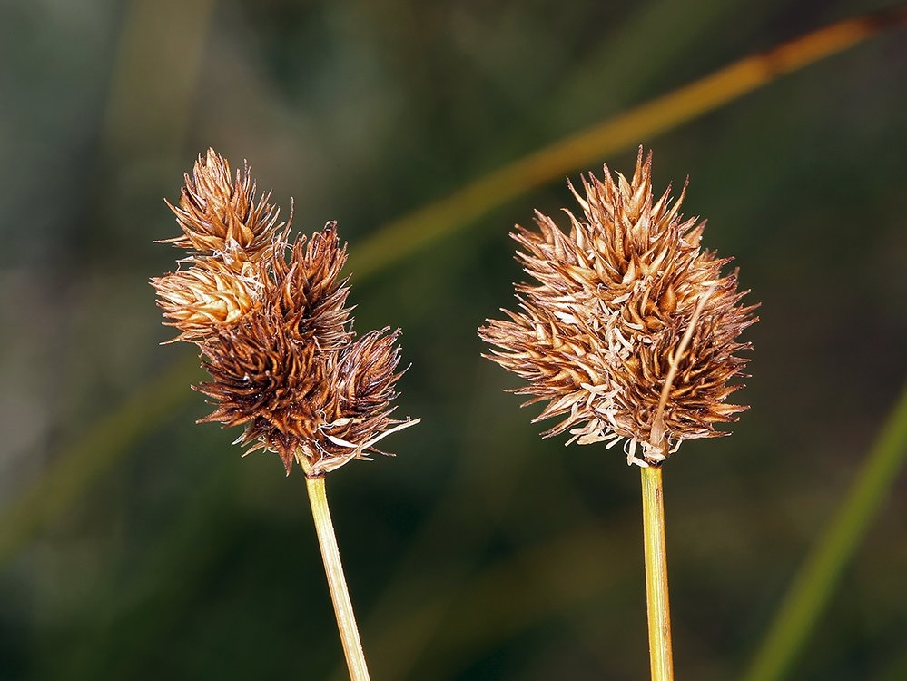 Carex microptera