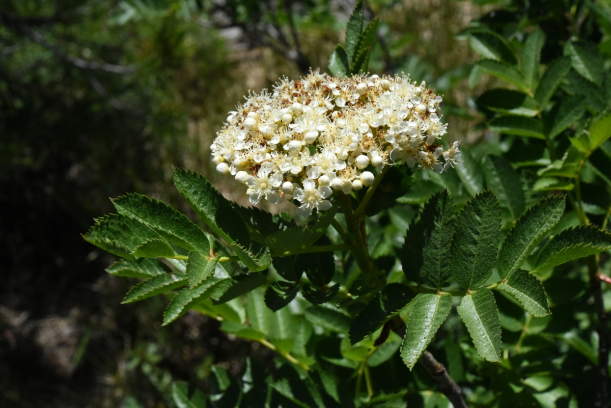 Sorbus californica