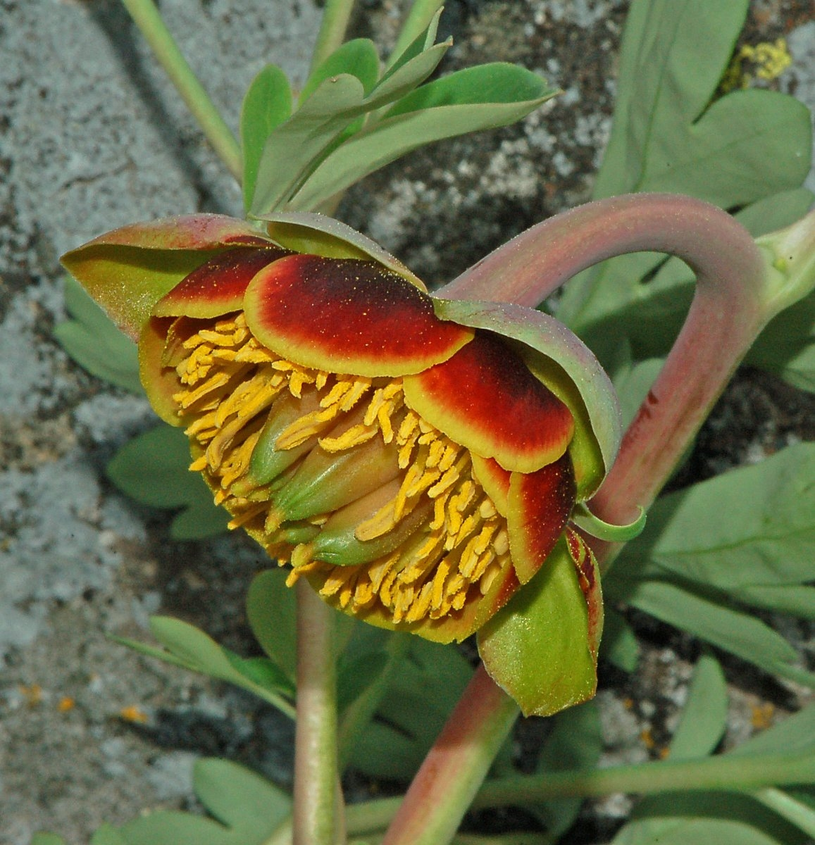 Paeonia californica