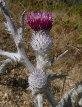 Cirsium occidentale var. occidentale