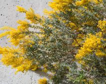 Needs Photos 4 Calflora Illustrated Plant List