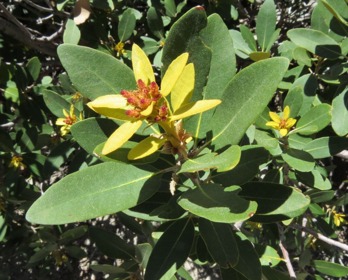 Chrysolepis sempervirens