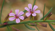 Lythrum californicum