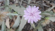 Stephanomeria cichoriacea