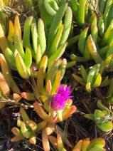 Carpobrotus chilensis