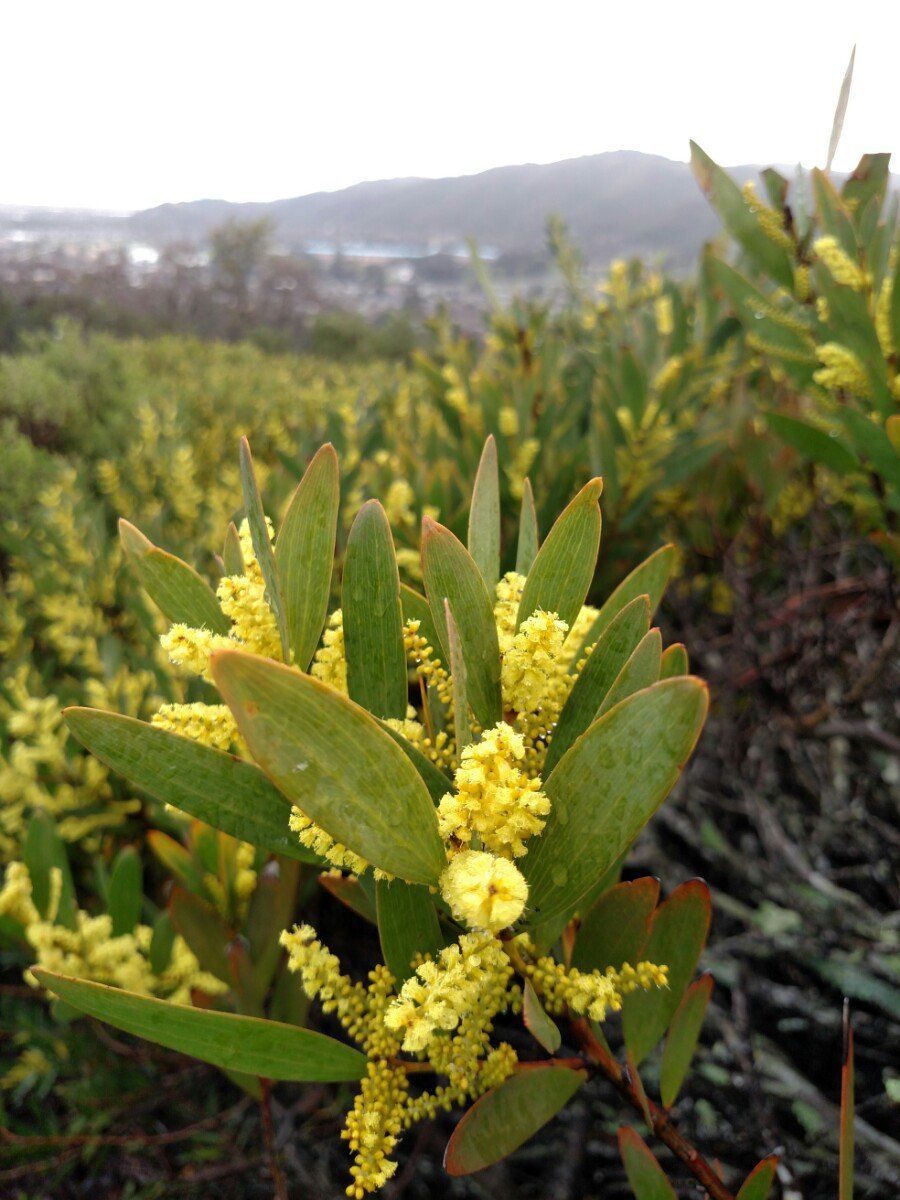 Acacia Longifolia Calflora