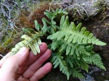Polypodium calirhiza