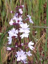 Lithophragma affine