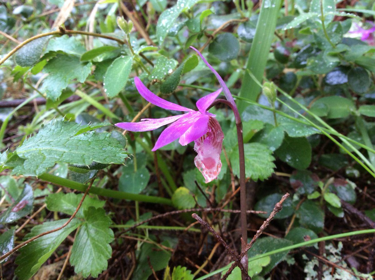 Calypso bulbosa var. occidentalis